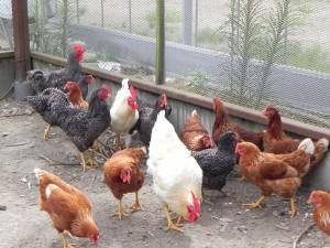 春にひよこだった鶏たち